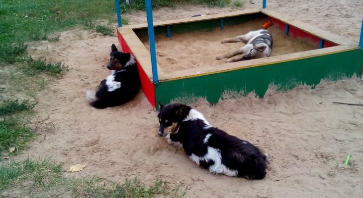 В Песочне на детской площадке поселились бродячие собаки