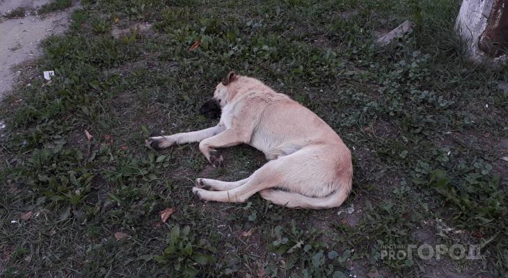 Рязанцы пожаловались на стаю собак в Канищеве