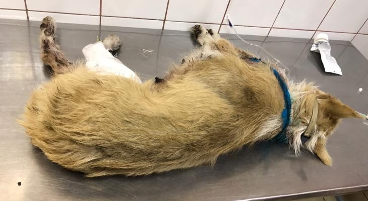 Рязанка рассказала подробности истории с изувеченной живодерами собакой