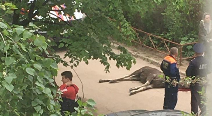 Таинственная гибель: в Недостоеве нашли мертвого лося