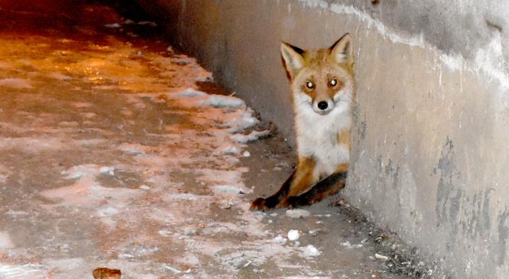 Необычный сосед: у новомичуринцев в подвале поселилась лиса, теперь ее кормит весь дом