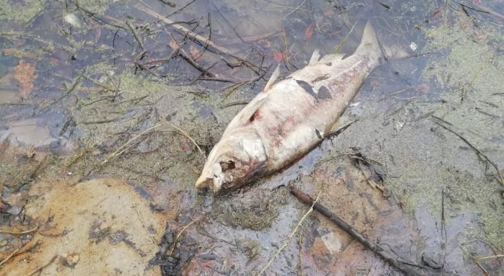 Кверху брюхом: в пруду под Рязанью массово умерла рыба