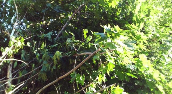 Странная логика: дирекция благоустройства Рязани пилит здоровые деревья, но оставляет сухие