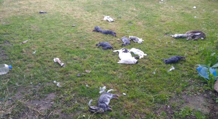Отлов не справляется: в Пронске собаки убили 18 кроликов