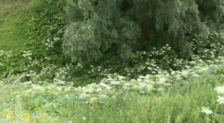 Уксус с солью: рязанские коммунальщики травят борщевик
