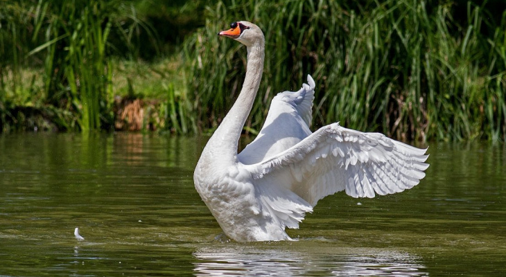 «Лебедь на хвосте зиму несёт»: рязанский орнитолог раскрыл смысл крылатого выражения