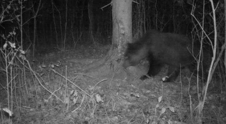 В Окском заповеднике сфотографировали медведя! Почему это важно