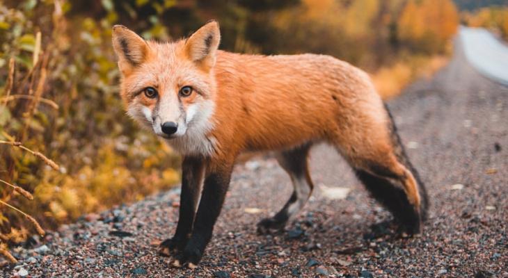 Лиса - не домашнее животное: в Рязани не разрешили держать хищников в квартире