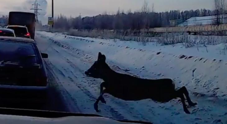 В Рязани косуля пыталась перебежать через дорогу и угодила в пробку